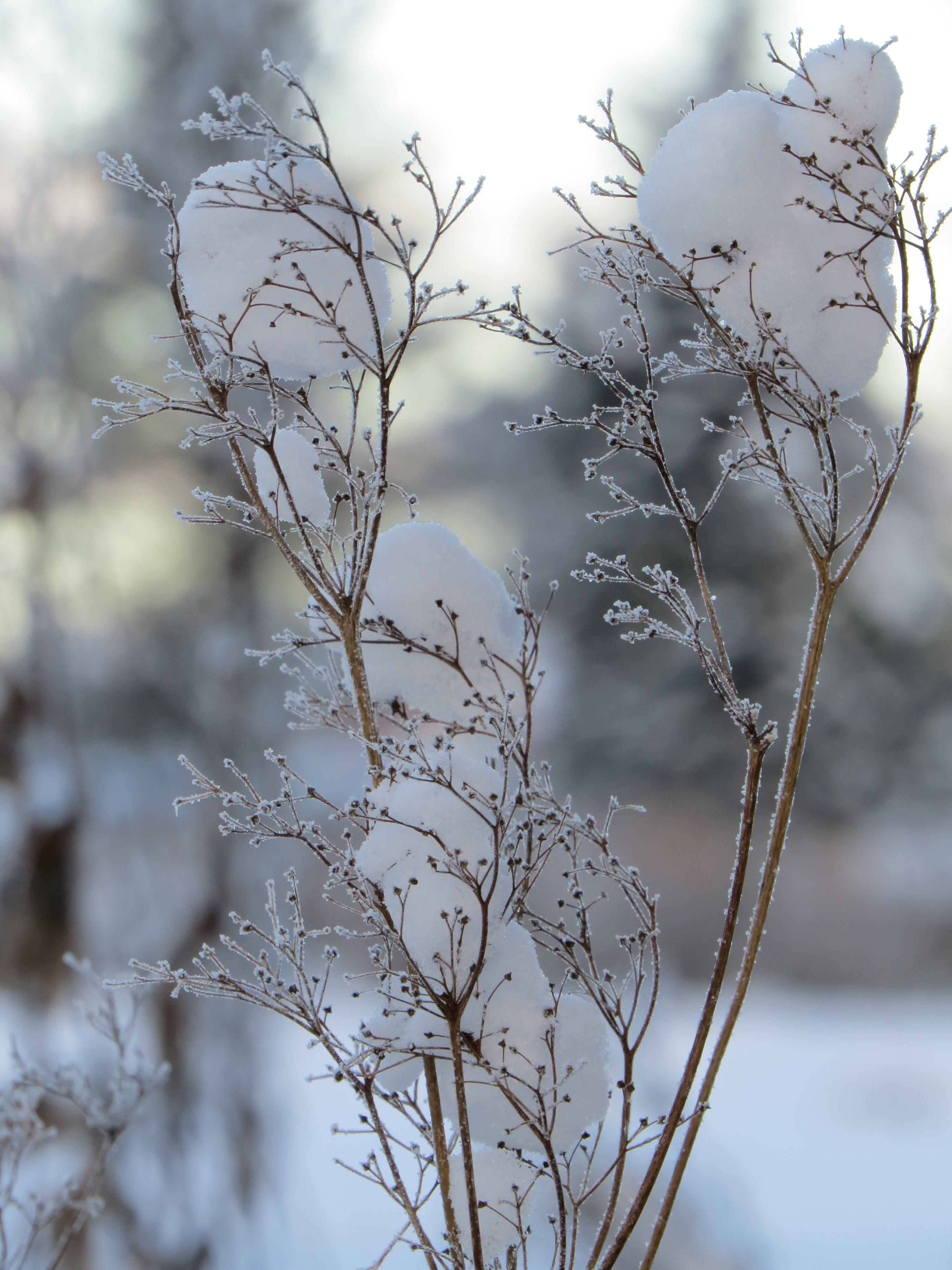 talven kukat