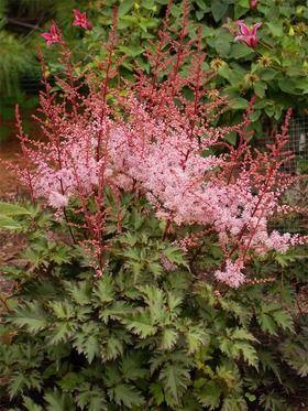 Astilbe Delft Lace Bluestone Perennials Flowers Perennials Shade Perennials Perennial Plants