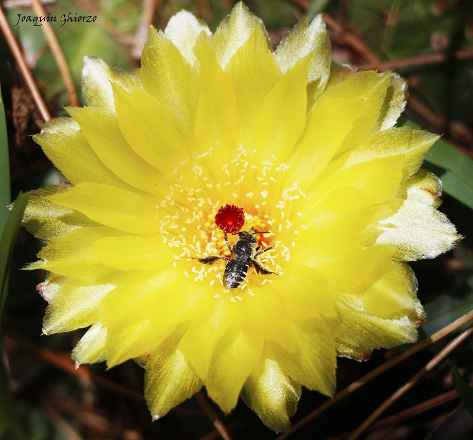 Flor de Cactus ... y abeja polinizando :) de Joaquín Ghiorzo