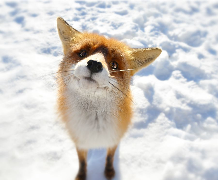 Gabriel Ciora-Márkus   A fox he photographed deep in the mountains of Transylvania.