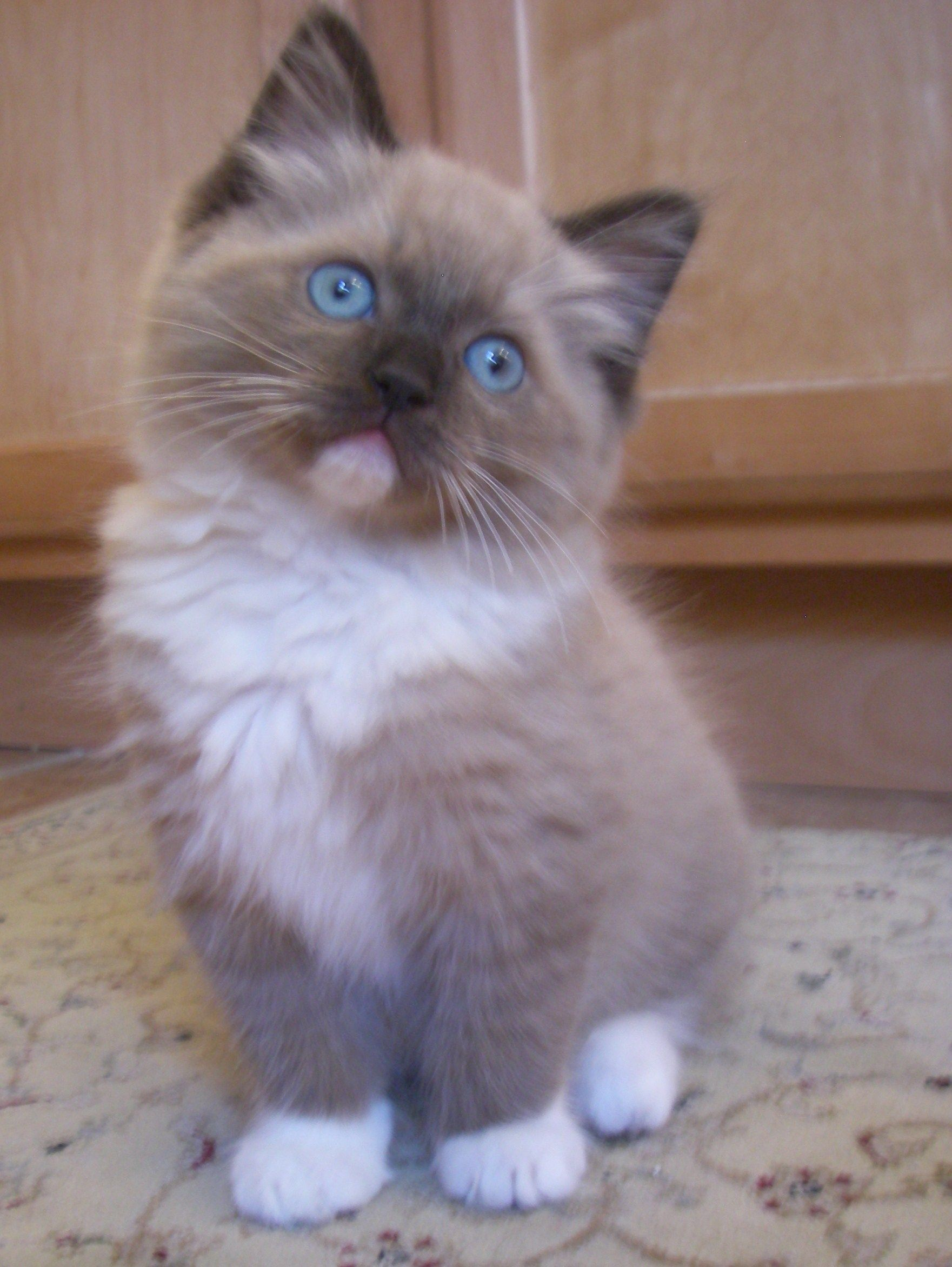Seal Mink Ragdoll Cat Zoeys Christmas Present 3 Looks A Lot Like My Yeti Although With Those Four White Paws Kitten Breeds Kittens Cutest Fluffy Kittens