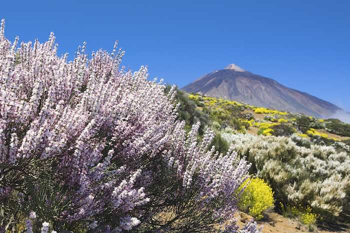 Glorious spring flowers around the base of Mount Teide