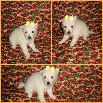 American Eskimo Dog Puppy For Sale In Clarksville Tn Adn 51710