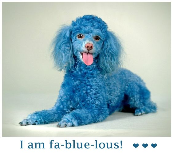 Blue Things Fantastic Blue Dog Fa Blue Lous Picture Poodle