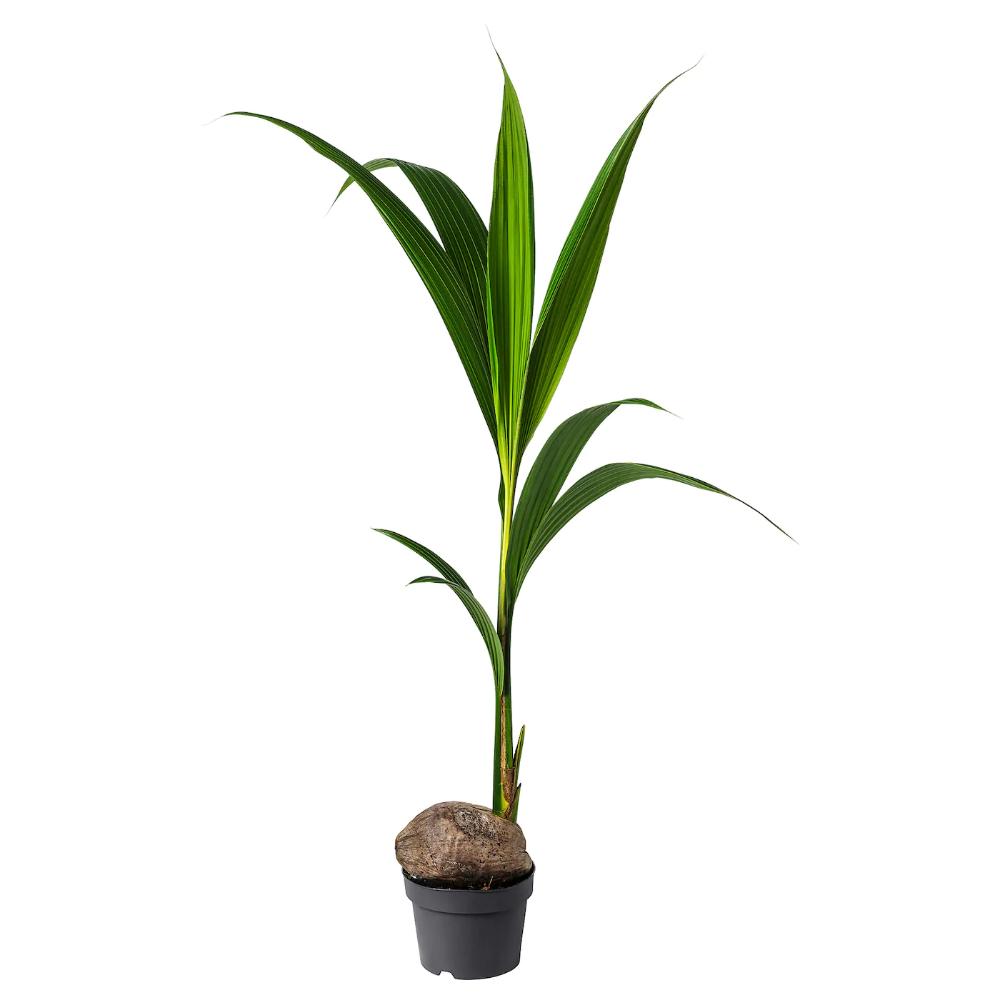 Palme Da Vaso Per Esterno cocos nucifera pianta da vaso - palma da cocco 19 cm (con