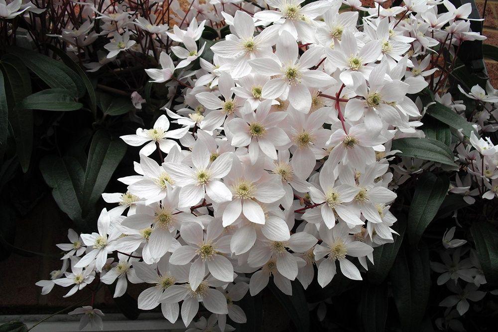 Photo of Evergreen climbing plants