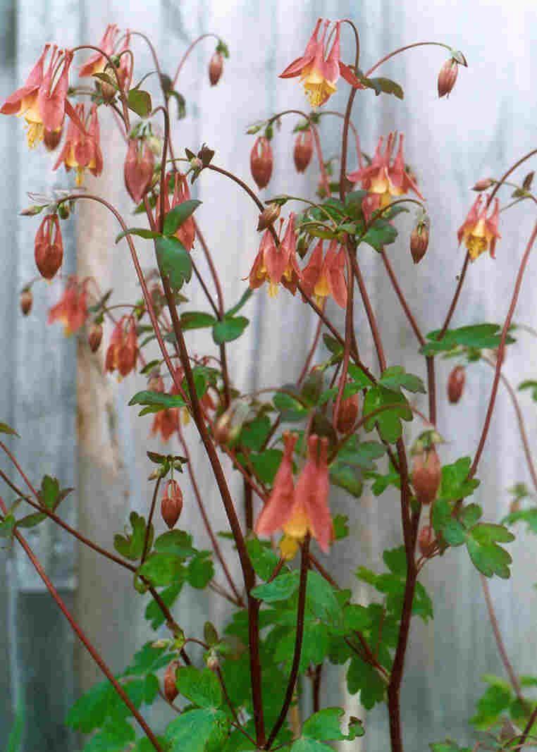 Wild Columbine (Aquilegia canadensis). little, wild
