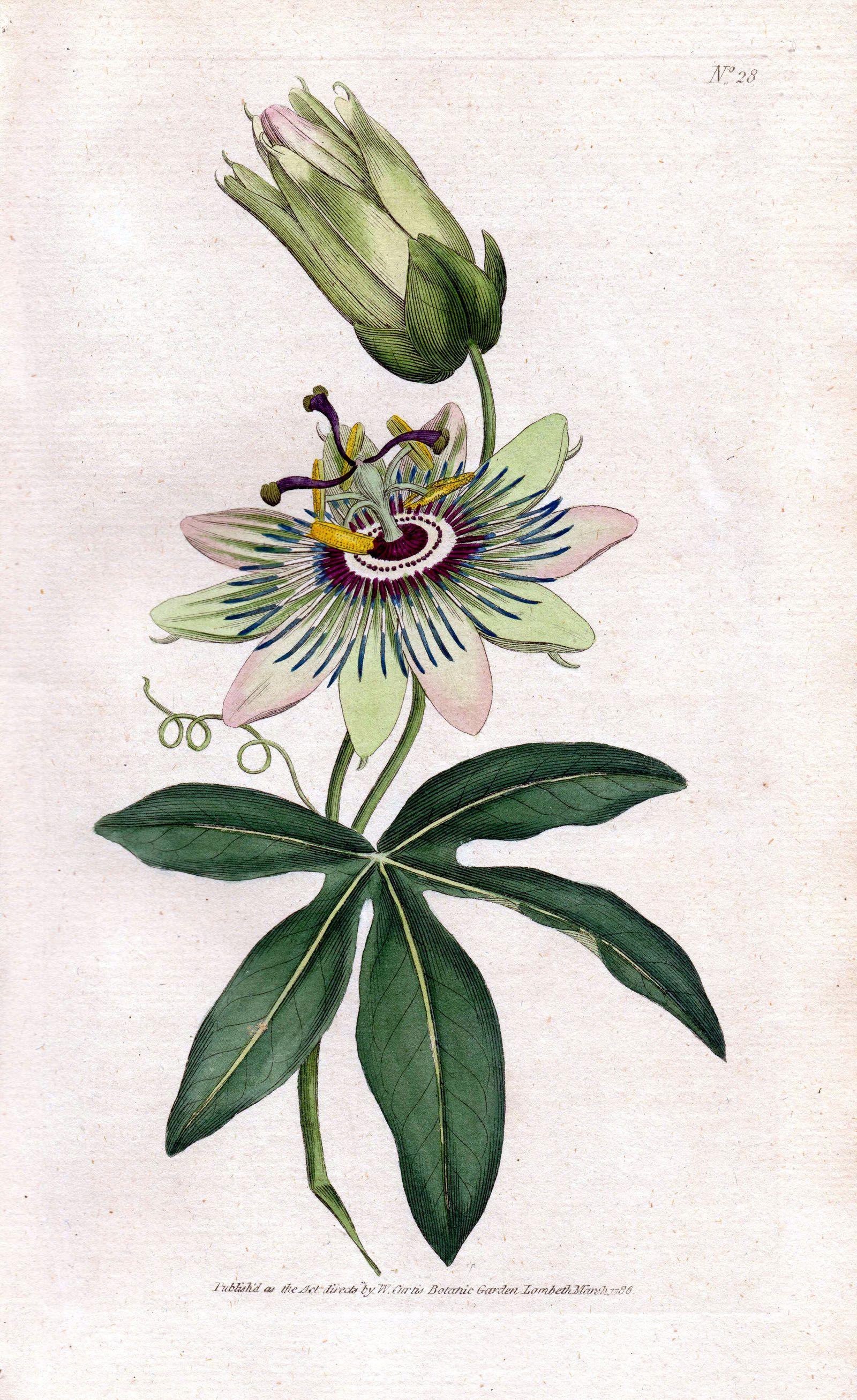 Passionflower Passiflora Passiflora Caerulea Blue Passionflower Bluecrown Passionflower Passion Botanical Illustration Botanical Prints Botanical Drawings