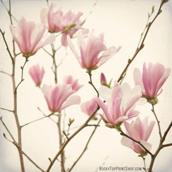 "Magnolia Print - Pink Magnolia Flower Photograph - Fine Art Print - Pastel Pink Flower Wall Art - Home Decor Flowers ""Pink Magnolia Blooms"". $25.00, via Etsy."