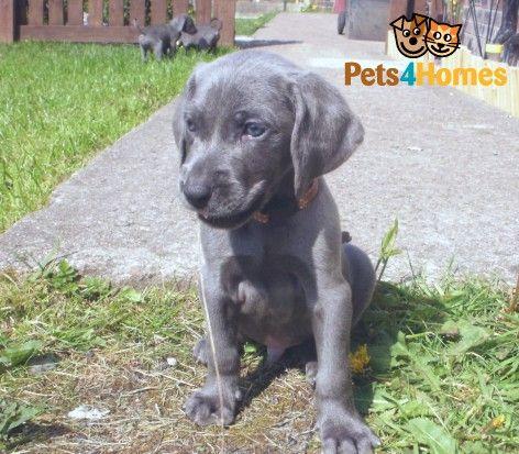 Blue Weimaraner Puppies Kc Registered Blackburn Lancashire Pets4homes Weimaraner Puppies Wimeraner Puppies Blue Weimaraner