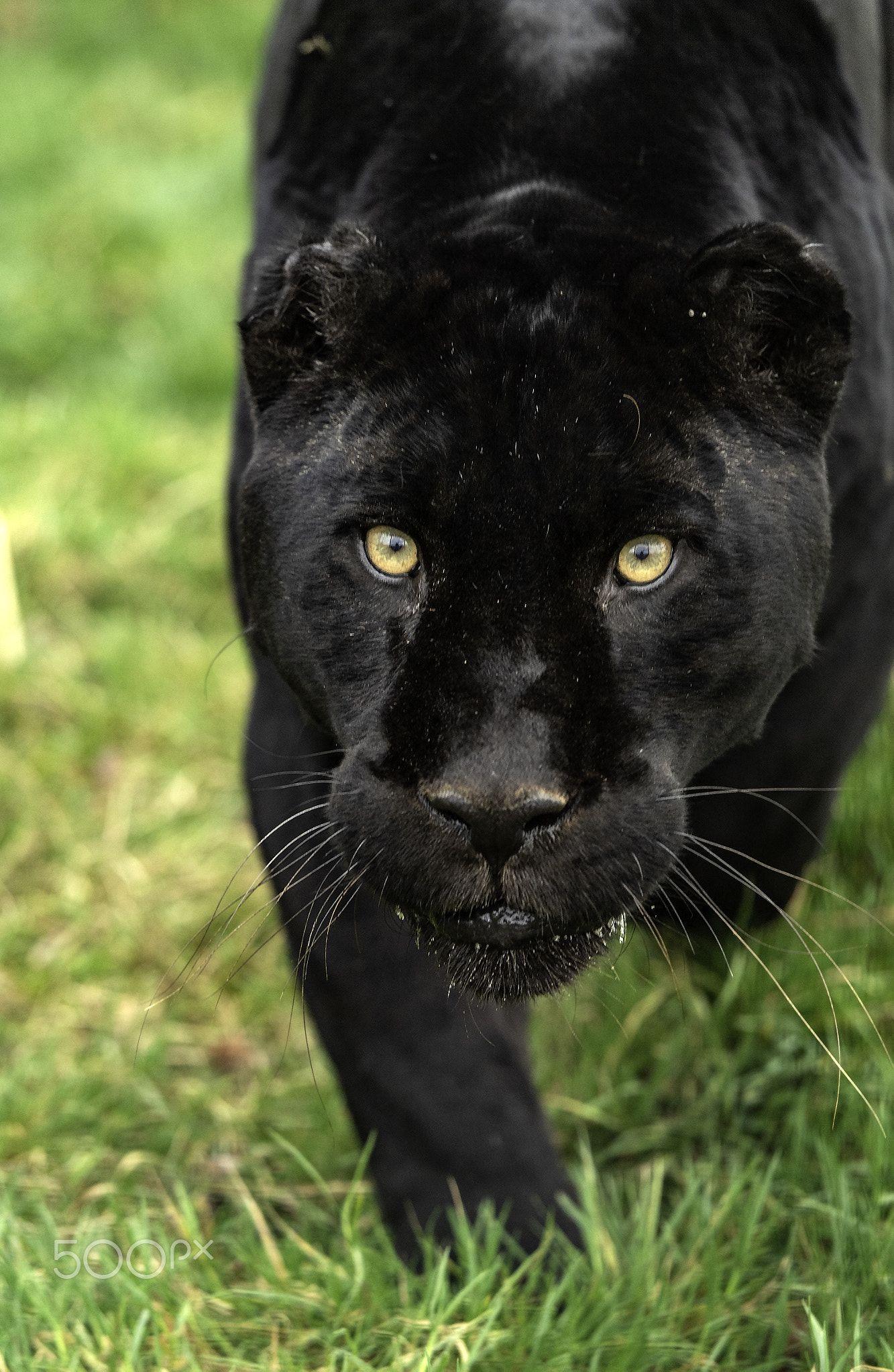 Black Jaguar Black Jaguar Jaguar Black