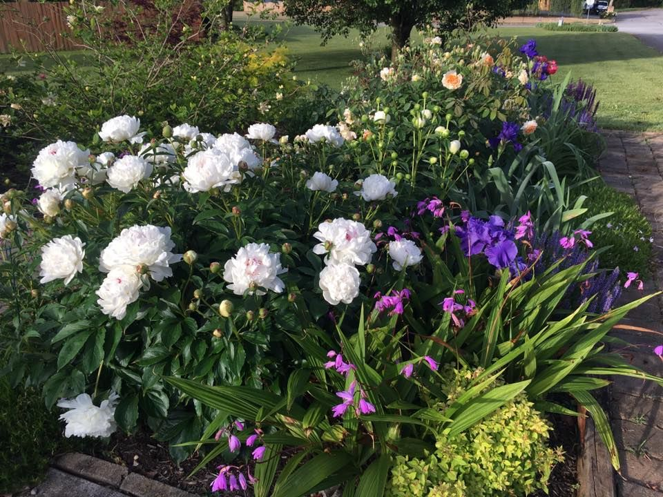 Peony Festiva Maxima with Chinese ground orchids and Iris Superstitious.  Back rose, Buff Beauty. | Peonies garden, Ground orchids, Beauty gardens