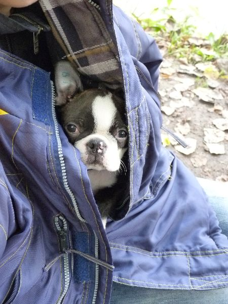 Boston's are famous for their snuggles. #BostonTerrier
