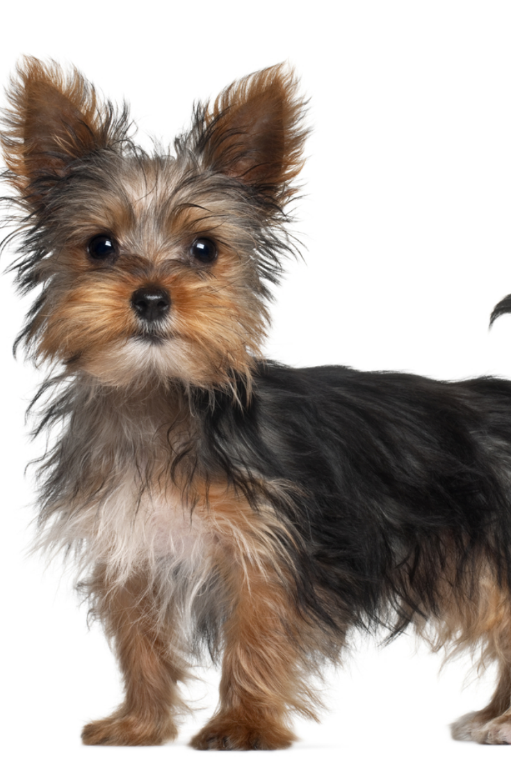 Yorkshire Terrier Puppy 8 Weeks Old Standing In Front Of White Background Yorkshireterrier Yorkshire Terrier Puppies Yorkshire Terrier Terrier