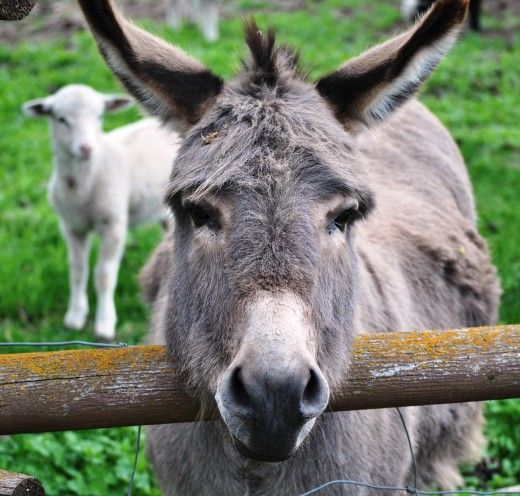 Donkeys can provide human friends important life lessons on the value of hard work, maintaining a sense of humor, and how to treat others.   He-Haw!  Let the off-color jokes begin.