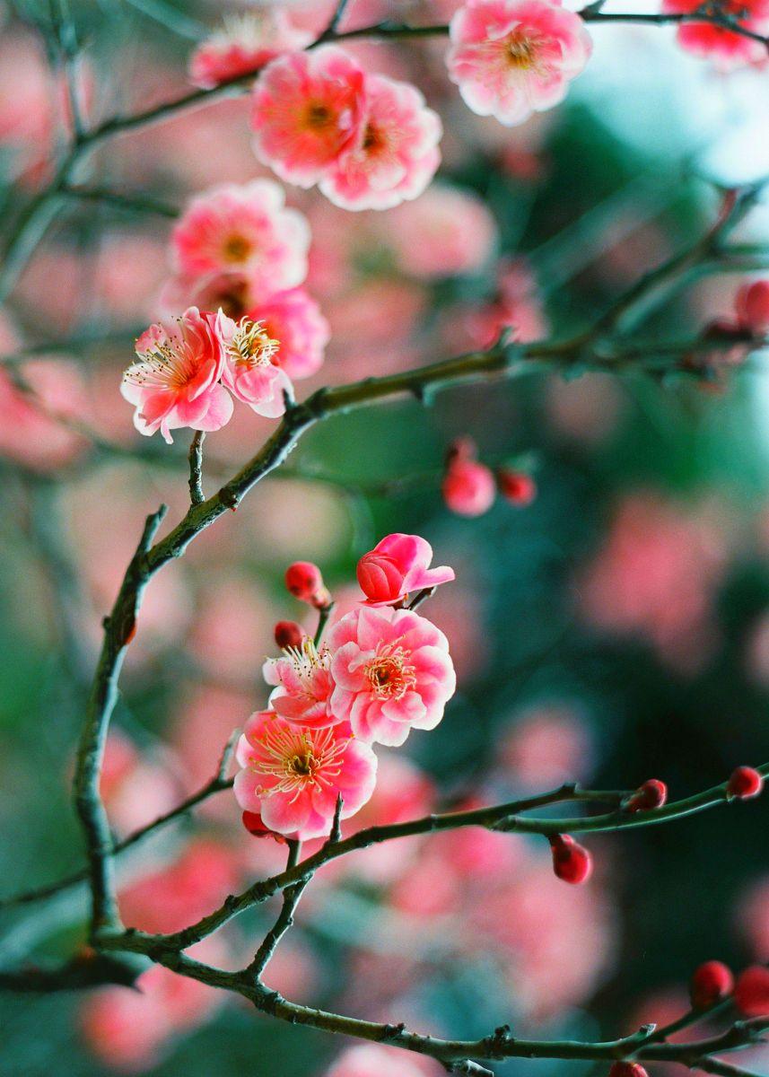 Winter plum flower buds touching in the faint lightud u kanbai ya