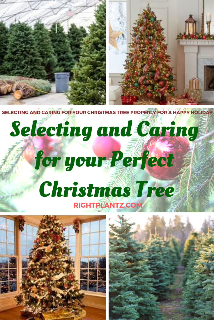 How To Select And Care For Your Christmas Tree I Tree Christmas Tree Gardening Blog