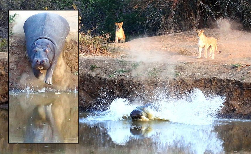 A scared hippopotamus dives into a river to escape a pack of lions who were feeling peckish in South Africa's Karongwe Private Game Reserve  by MORNE HAMLYN