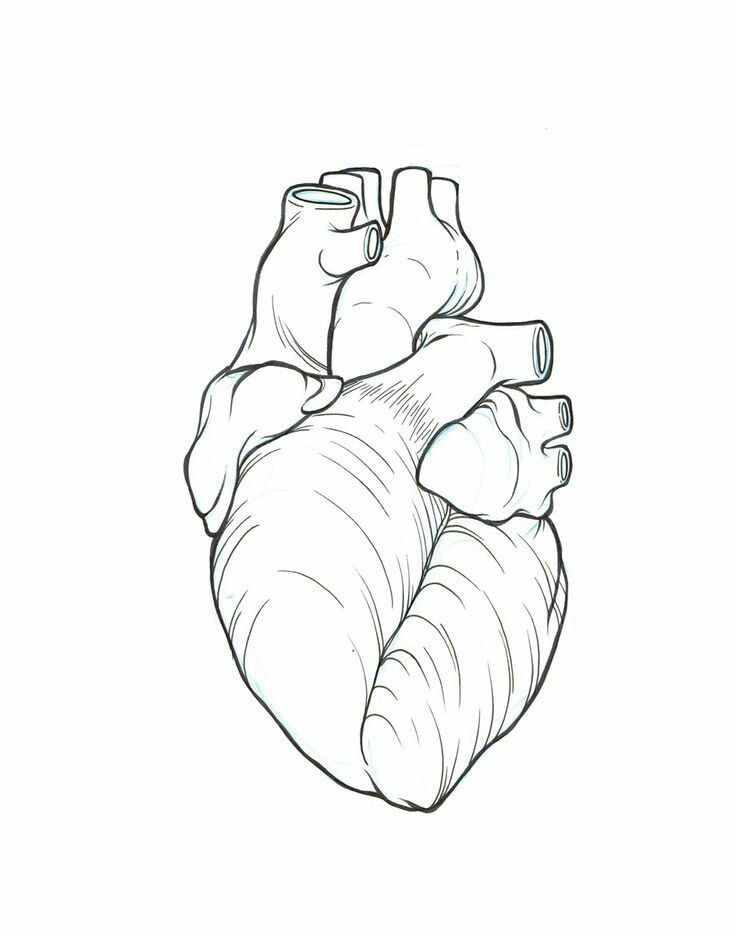 Anatomically correct heart line art | Sketches | Pinterest ...