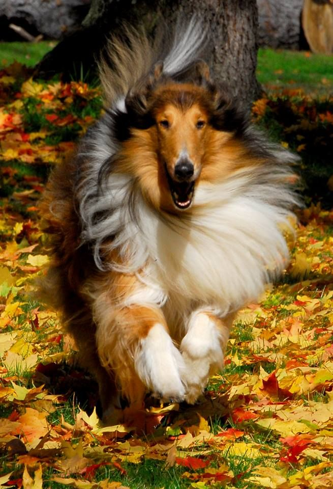 Wow Fall And Collie The Best Things Ever Rough Collie Collie