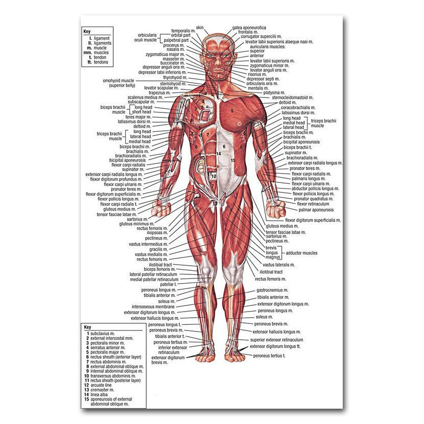 499 Human Anatomy Body Muscles Map Silk Poster 12x18 24x36 Inch