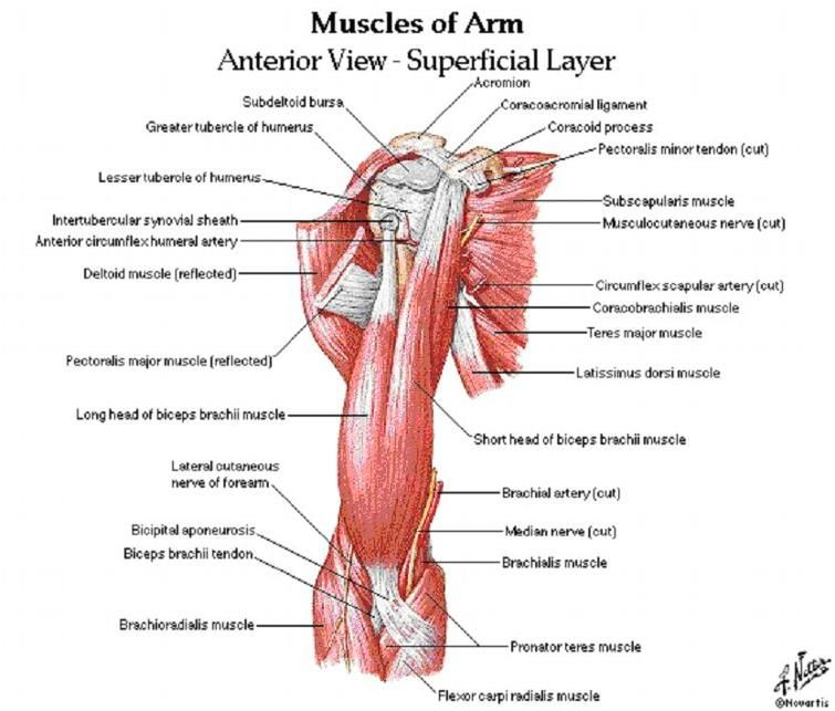 muscles of the arm - Google Search | Stuff to know in college ...