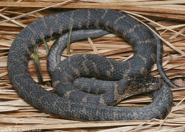 The Herping Michigan Blog Mi Reptiles Reptiles Clare County Snake