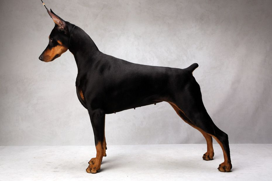 Westminster S Best Of Breed Photographs Nytimes Com Doberman