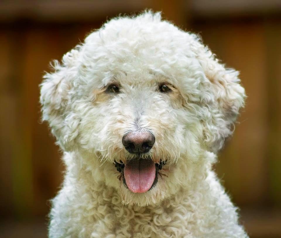 Spud Doodle Pet insurance reviews, Dog insurance, Pet