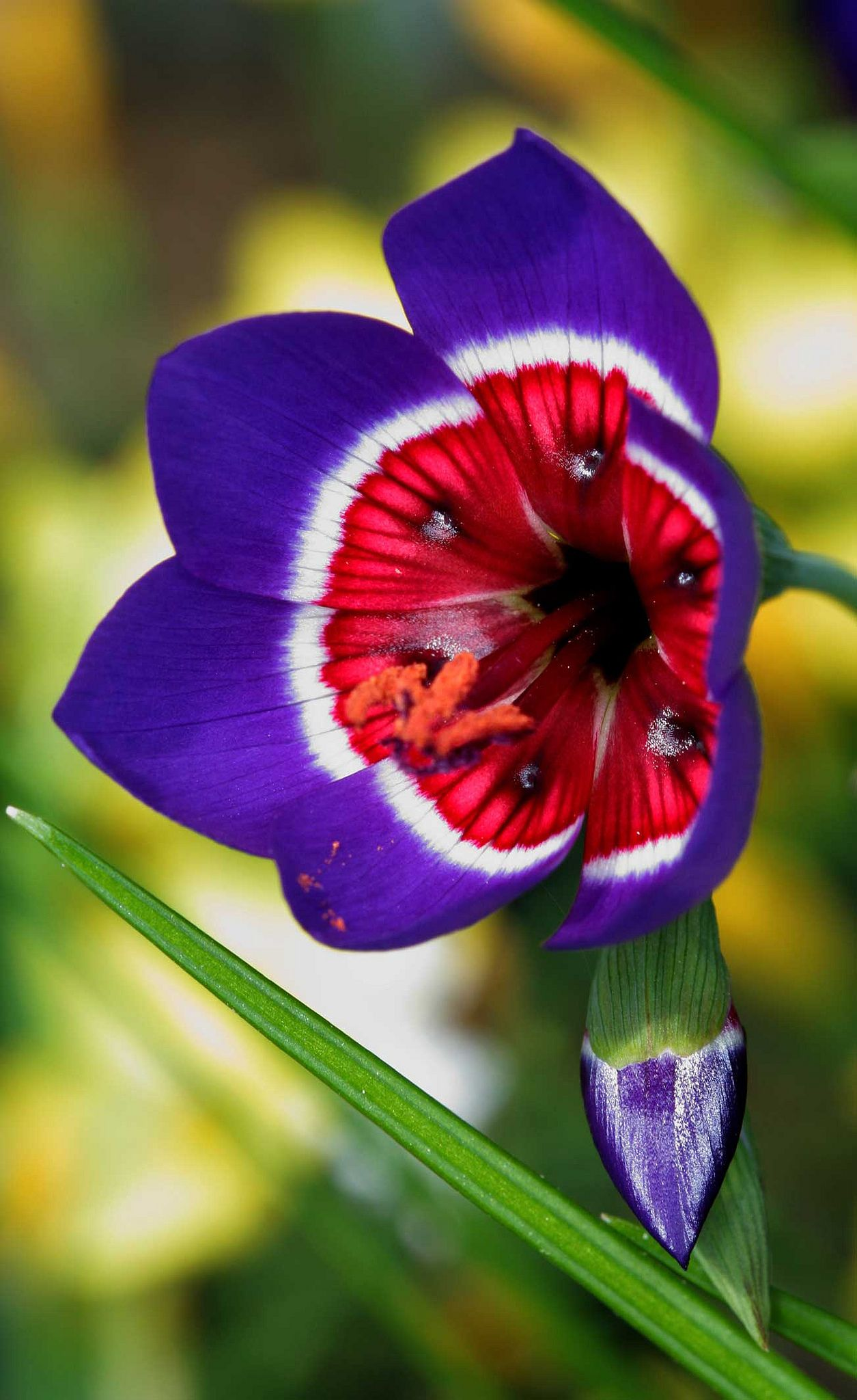 Geissorhiza-radians | Flowers - Their Beauty, Colors and Design ...
