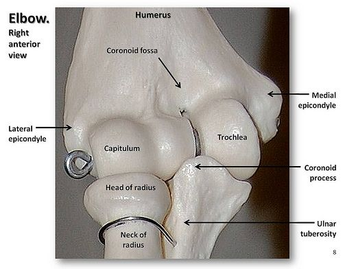 Bones of the elbow, close-up anterior view with labels ...