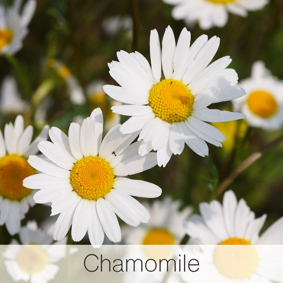 Chamomile incredibly calming as a tea and just as calming for your