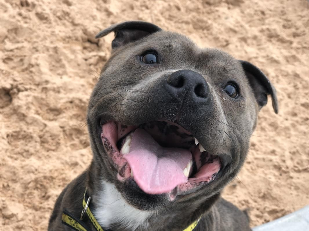 Adopt a dog paddy staffordshire bull terrier sbt