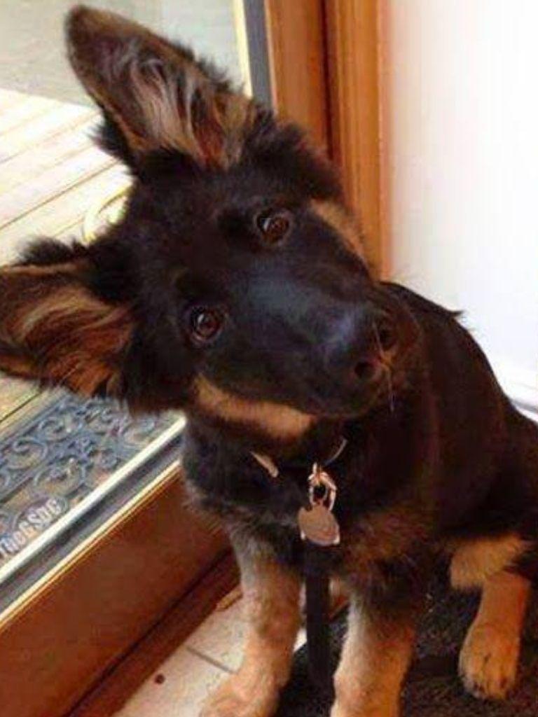 Cute cute pinterest german shepherd puppies shepherd