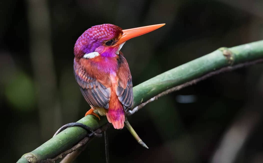 Ultra Rare Magenta Hued Dwarf Kingfisher Photographed For The Very First Time In Philippines Kingfisher Kingfisher Bird Rare Birds