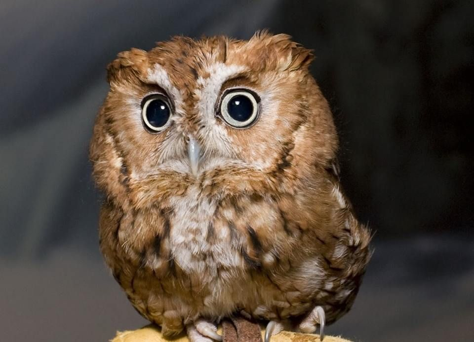 Tiny Eastern Screech Owl | Baby owls, Cute baby owl, Cute ...