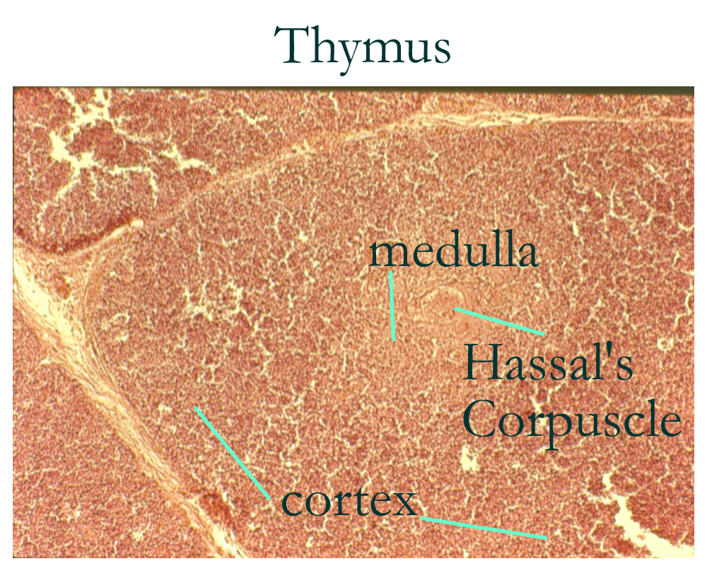 Thymus Gland Histology Labeled Histology Thymus Histology