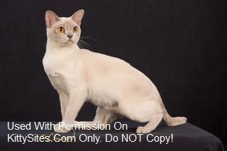 Burmese Cat Kitten Websites Burmese Cats For Sale Burmese