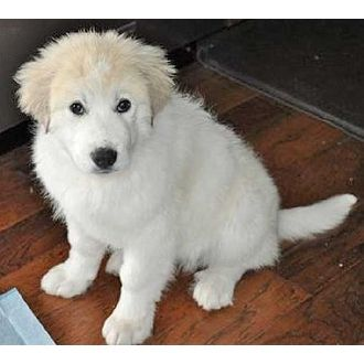 Great Pyrenees | Kearney in NY new pup | Pets.Overstock.com