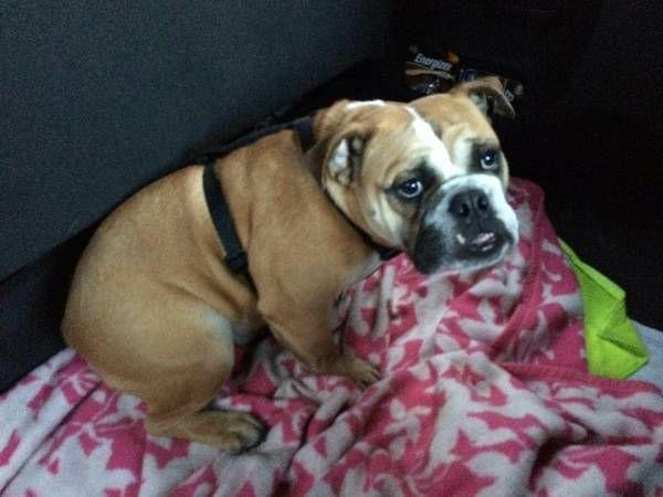 Lost English Bulldog Reward For Return 1600 Hillsdale St Troy