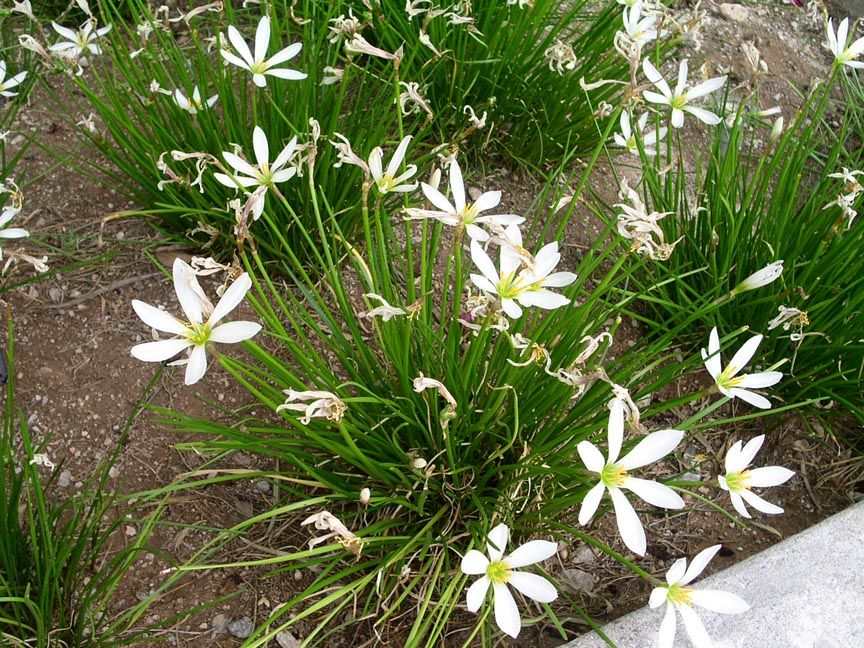 Rain lily plant common rain lily fairy lily autumn rain for Grass looking bushes