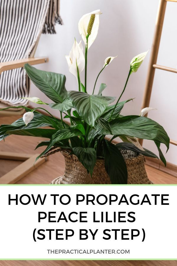 How To Propagate Peace Lilies Step By Step In 2021 Peace Lily Lily Propagation