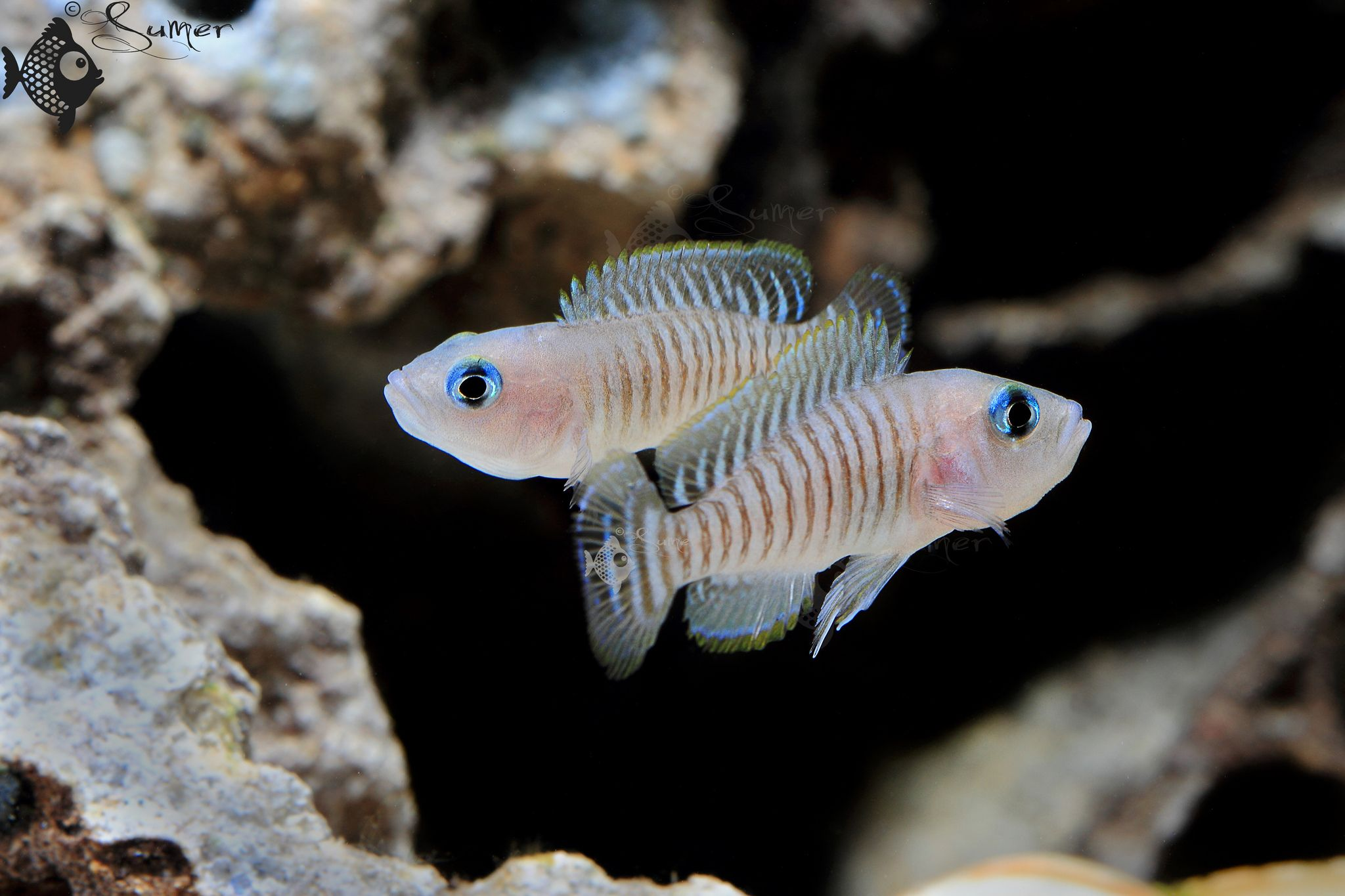 Freshwater aquarium fish bottom dwellers - Neolamprologus Multifasciatus Have A Tank Full Of These Cute Guys Tanganyikan Shell Dwellers Are