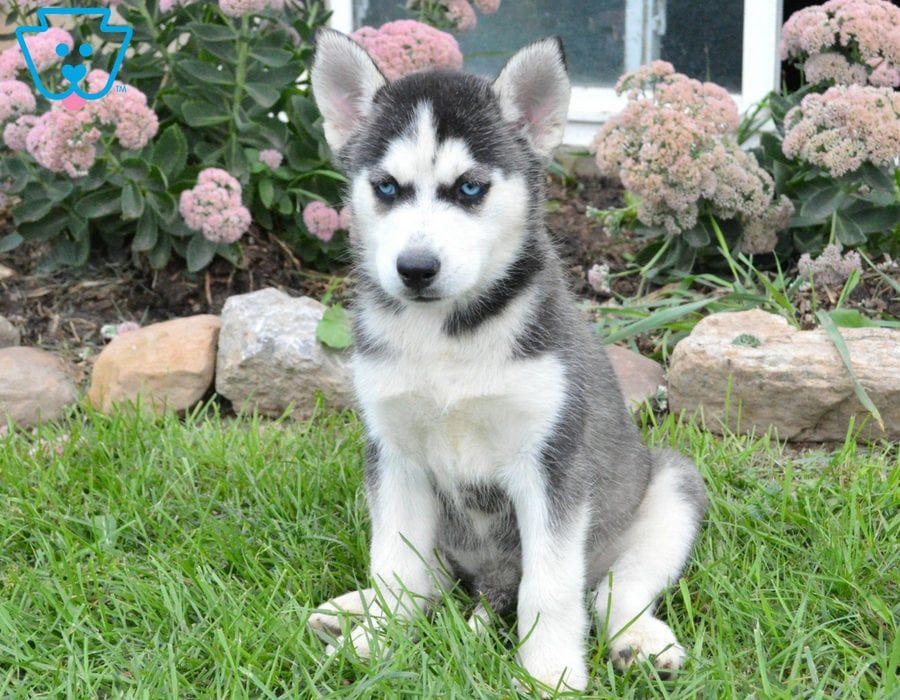 Special Dogs Husky Puppies For Sale Puppies