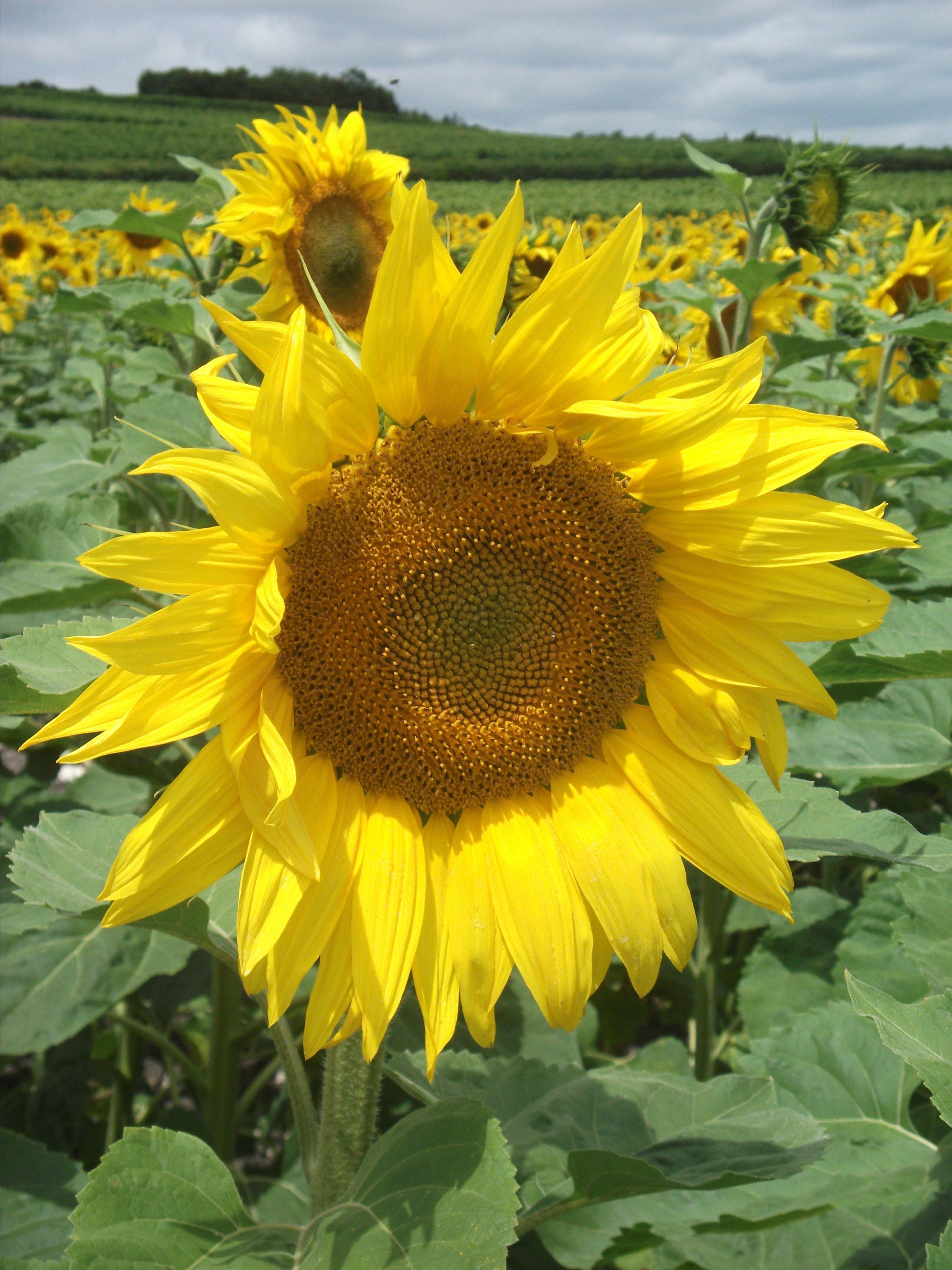 Sunflower Sunflower, Plants, Flowers