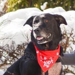Adopt Holden On My Haily Labrador Retriever Dog Labrador