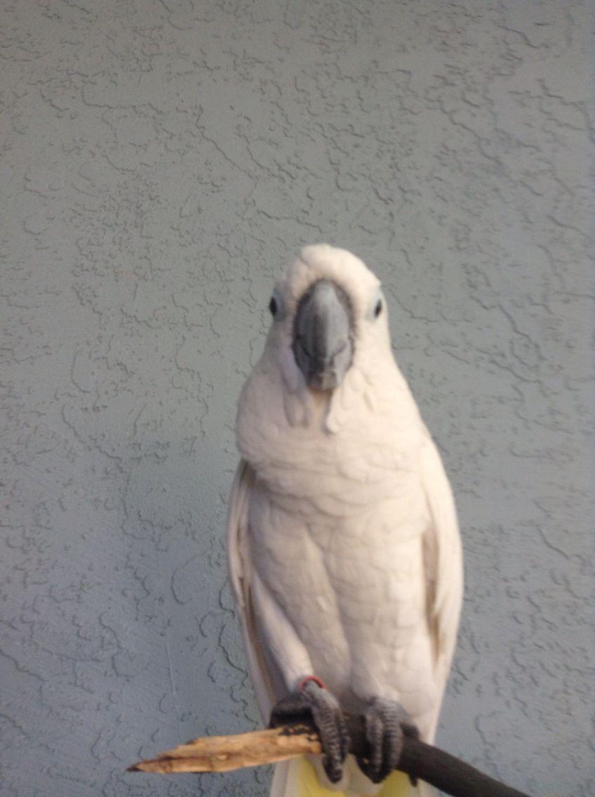 The Brat Parrot