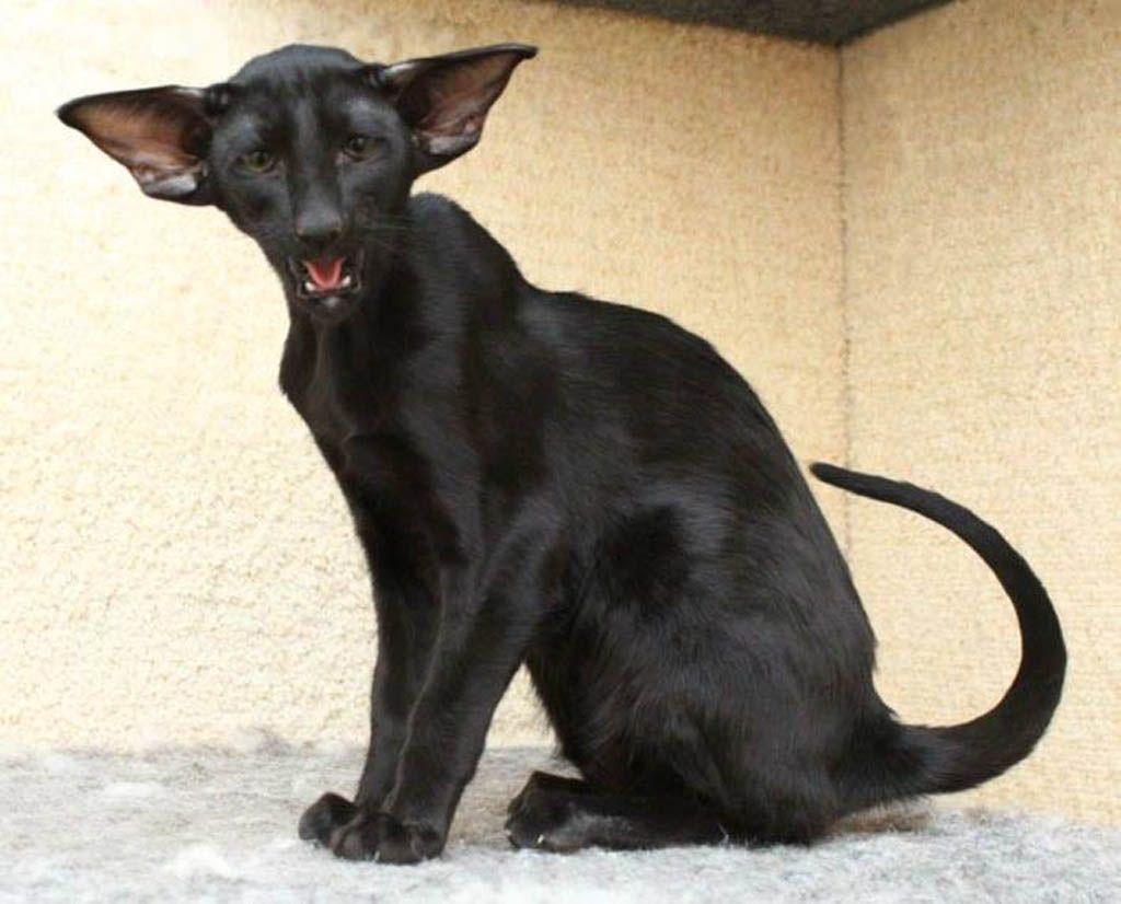Oriental shorthair cats C'Ria PU, female, OSH n, ebony ...