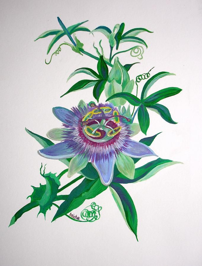 Passion Flower Drawing Google Search Passion Flower Flower Drawing Botanical Painting