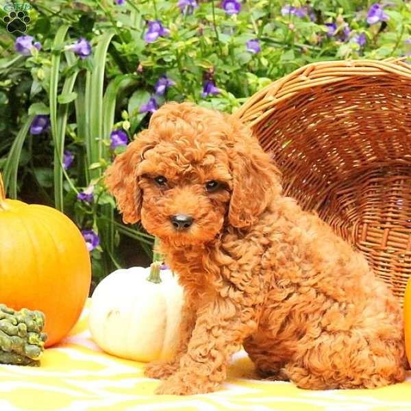 Arthur Norwegian Elkhound Puppy For Sale In Pennsylvania